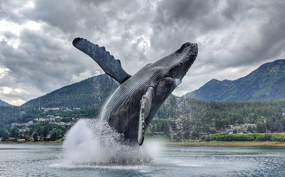 Check out the Juneau Whale Project